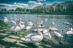 """Cygnus del †de los cisnes """"en el lado del río con el puente Fotografía de archivo"""