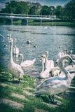 """Cygnus del †de los cisnes """"en lado del río con el puente, Piestany Fotos de archivo"""
