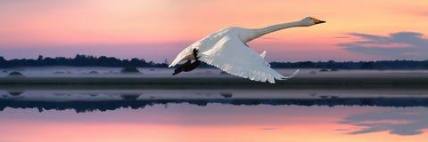 Cygnus del Cygnus del cisne de Whooper que vuela sobre un río Imagen de archivo