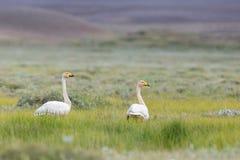Cygnus del Cygnus dei cigni selvatici su terra nordica di estate Fotografie Stock