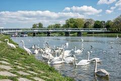 """Cygnus do †bonito das cisnes """"no lado do rio com ponte, Piesta imagens de stock royalty free"""