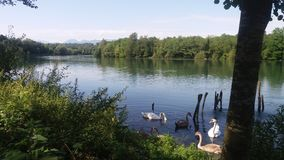 Cygnus en Adda River Photographie stock libre de droits