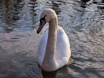 Cygnus ist die taxonomische Klasse, mit der die größten Wasservögel der Anatidaefamilie identifiziert werden, thes stockbild