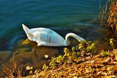 Cygnus ist die taxonomische Klasse, mit der die größten Wasservögel der Anatidaefamilie identifiziert werden, thes stockfoto