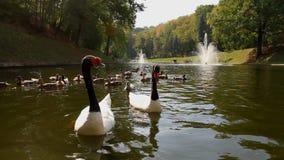 Cygnus kaczki na jeziorze i melanocoryphus Mezhyhiria zbiory