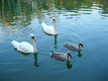 Cygnus. With kids at the lake Royalty Free Stock Photos