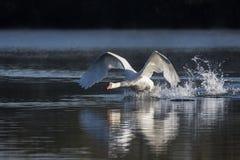 Cygnus Olor безгласного лебедя принимая в полет Стоковые Изображения RF