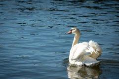 Cygnus Olor a cisne muda fotos de stock