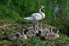 Cygnus olor family in the habitat stock photo