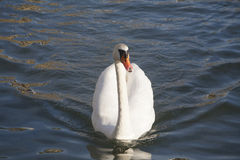 Cygnus olor mute swan floating on clear blue water Royalty Free Stock Image