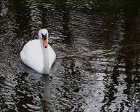 Mute Swan or Cygnus olor. Cygnus olor or Mute swan gracefully gliding on a small river in Norfolk UK royalty free stock photography