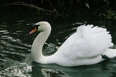 Mute Swan or Cygnus olor. Cygnus olor or Mute swan gracefully gliding on a small river in Norfolk UK royalty free stock image