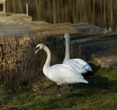 Cygnus olor or Mute Swan. A pair of Cygnus olor or Mute Swans, one almost mirroring the other during February in the UK royalty free stock images