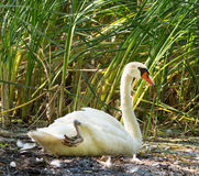 Cygnus olor (Mute Swan) sitting in a marsh Royalty Free Stock Photography