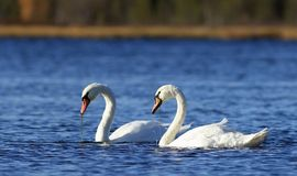 Cygnus olor. Mute swans in the fall on the Yamal Peninsula Stock Image