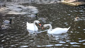 Cygnus olor. Two mute swans playing and biting. Cygnus olor. Two mute swans floating in a pond, playing and biting each other in spring with wild ducks in the stock video footage