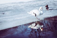 A Cygnus and two ducks mallard on the ice on frozen pond royalty free stock photo