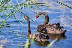 Cygnusatratus för två svarta svanar i vatten royaltyfria bilder
