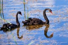 Cygnusatratus för två svarta svanar i vatten royaltyfria foton
