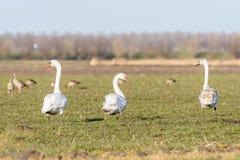 Cygnusfärg för tre svanar som går i ett fält Royaltyfri Foto
