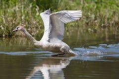 Cygnusolor för stum svan med yttersida för spridningvingrinnande vatten Royaltyfri Fotografi