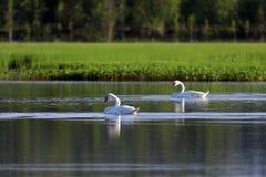 Cygnusolor Noordelijk landschap op een de zomerdag met zwaan-stomme royalty-vrije stock fotografie