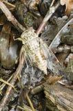 Cykada insekt Zdjęcie Royalty Free