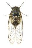 Cykada insekt obrazy royalty free