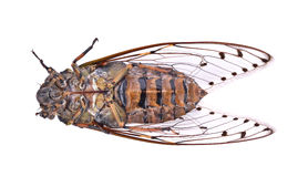 Cykada insekt odizolowywający na białym tle Zdjęcia Royalty Free
