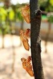 Cykada molting Fotografia Royalty Free