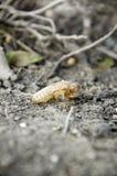 Cykada molting. Fotografia Royalty Free