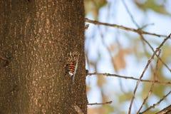 Cykada przy drzewem Obraz Royalty Free