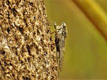 Cykady cykady Barbara subsp lusitanica Fotografia Stock