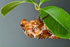 cykady eclosion Fotografia Royalty Free