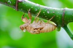 Cykady molt zdjęcie stock