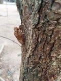 Cykady molt chwyt na drzewie Obrazy Royalty Free