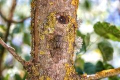 Cykady obsiadanie na drzewnym bagażniku, insekt w naturalnym siedlisku obraz royalty free