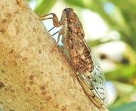 Cykady pluskwa w drzewie zdjęcie royalty free