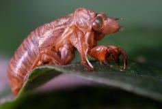 cykady skorupa Obrazy Royalty Free