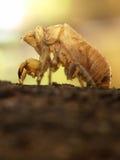 cykady skorupa Zdjęcia Royalty Free