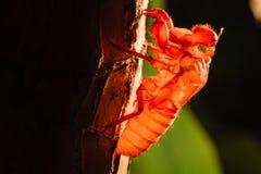 Cykady skorupa na drzewie Zdjęcia Royalty Free