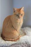 Cykający Imbirowy Abisyński żeński kot Fotografia Royalty Free