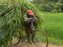 Cykel som överlastas med en stor hög av den nytt klippta elefantgraen Arkivbilder