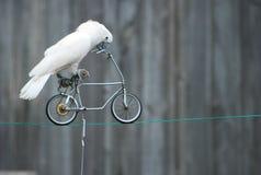 cykelpapegoja Royaltyfria Bilder