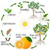 Cykl przyrost pomarańczowy drzewo na białym tle Obraz Stock