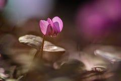 Cyklamenów kwiatów makro Fotografia Royalty Free