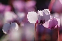 Cyklamenów kwiatów makro Obrazy Stock