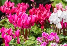 cyklamenów kwiatów menchie Obraz Royalty Free