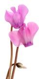 Cyklamenów kwiaty Zdjęcia Stock
