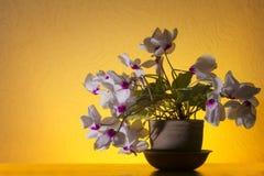 Cyklamenów kwiaty Obrazy Stock
